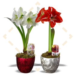 "4.5"" Amaryllis in Frost pot"