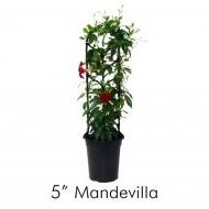 Mandevilla